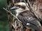 Stock Image : Kookaburra