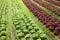 Stock Image :  Kopfsalatanlage in einem Ackerland