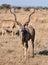 Stock Image : Kudu Antelope in Africa