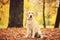 Stock Image : Labrador dog