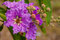 Stock Image : Lagerstroemia floribunda Jack ex Blume
