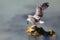 Stock Image : Landing gull