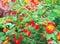 Lantana camara on the blurred background