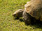 Stock Image : Large African Tortoise