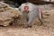 Stock Image : Large male hamadryas baboon walking in zoo