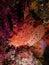 Stock Image : Large-scaled scorpionfish