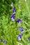 Stock Image : Larkspur Wildflowers