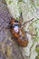 Stock Image : The larva of a cicada