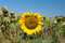 Stock Image : Last sunflower