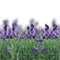 Stock Image : Lavender flowers on white