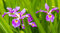 Stock Image : Lavender Iris and Leaves