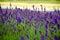 Stock Image : Lavender meadow in garden