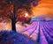 Stock Image : Lavender