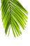 Stock Image : Leaves of palm tree isolated on white background