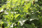Stock Image : Leaves of stinging nettle