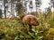 Stock Image : Leccinum mushroom