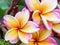 Stock Image : Leelawadee beauty flower