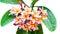 Stock Image : Leelawadee flower isolated