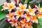 Stock Image : Leelawadee flower