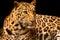 Stock Image : Leopard over black