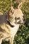 Stock Image :  Leuke Chihuahua