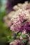 Stock Image : Lilac