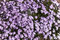 Stock Image : Lilac bedding plant in flower