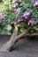 Stock Image : Lilac bush
