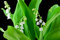 Stock Image : Lilies of the valley