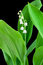 Stock Image : Lily of the valley