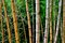 Stock Image : A line of withered bamboos