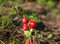 Stock Image : Lingonberry