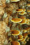 Stock Image : Lingzhi mushrooms