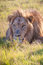Stock Image : Lion lying in the grass