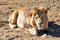Stock Image : Lion (Panthera leo) in Africa