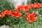 Stock Image :  Lirio rojo precioso