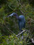 Stock Image : Little Blue Heron