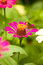 Stock Image : A LITTLE BUTTERFLY ON PINK ZINNIA