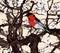 Stock Image : Little imaginary red bird in a sakura