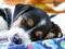 Little Jack Russell Terrier sleeping