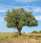 Stock Image : Lone Tree