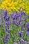 Stock Image : Lot of flowers of violet lavender blooming in garden