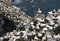 Stock Image : Lot's of Nests!  Gannets in Cape St. Mary's