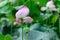Stock Image : Lotus