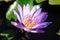 Stock Image : Lotus Flower