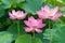 Stock Image : Lotus flowers