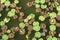 Stock Image : Lotus leaves
