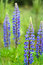 Stock Image : Lupines