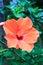 Stock Image : Macro of China Rose flower