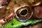 Stock Image : Macro del ojo de la rana
